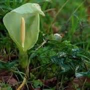 significato dei fiori calla significato calla significato dei fiori linguaggio dei