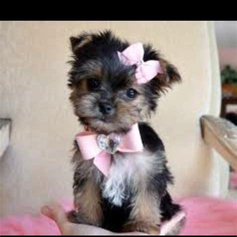 half yorkie half maltese puppies pin by nielsen on weiners maltesers not the chocolate kin