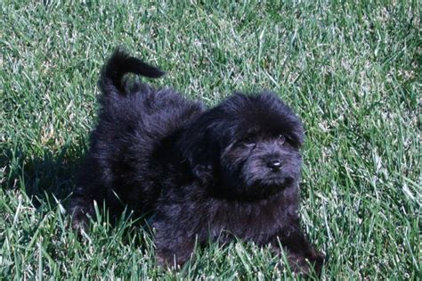 black havanese puppies angie s havanese puppies california havanese puppies
