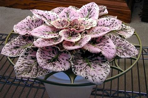 Small Home Decorating Blogs African Violets Like You Ve Never Seen Before Tbo Com