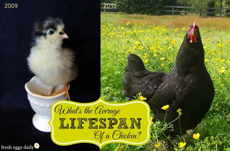 what is a s average lifespan what s the average lifespan of a backyard chicken fresh eggs daily 174