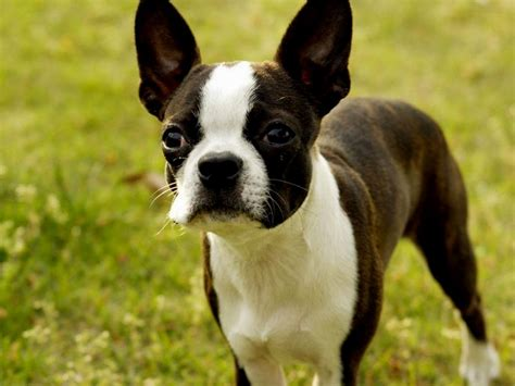 free puppies tucson boston terrier puppies az puppies puppy