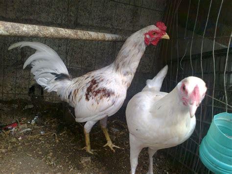 fotos de gallos de redonda gallos pollitos y huevo f 233 rtil mdn 700 00 en mercado