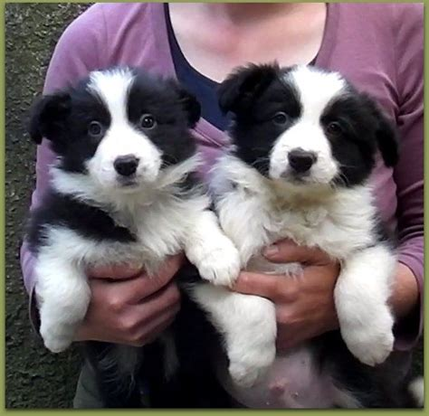 black and white border collie puppy classic black and white border collie puppies yelverton pets4homes