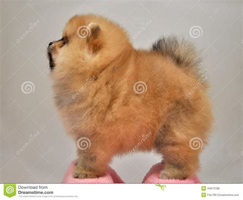 miniature teddy pomeranian puppies charles puppy pomeranian spitz german miniature stock photo image of