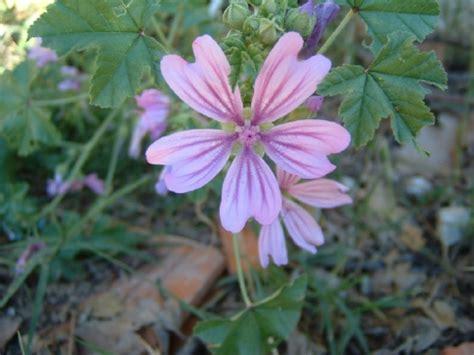 Geranium Sauvage Fleur by Photos Bassin De Jardin Fleurs Phil 06 Drap Page 1
