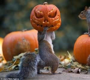 Squirrel gets head stuck in a halloween pumpkin in london daily mail