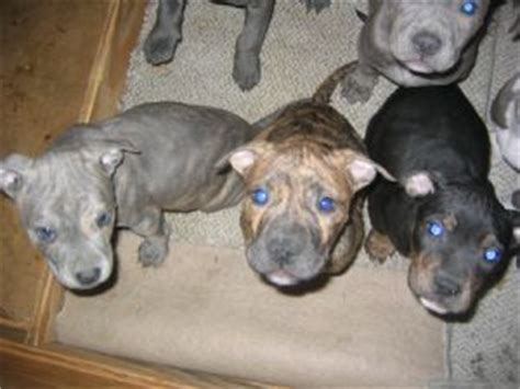 eli pitbull puppies for sale eli pitbulls for sale