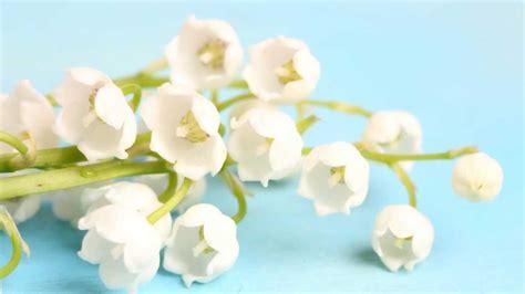 mughetto fiore significato significato fiori e piante scopri i fiori adatti in ogni