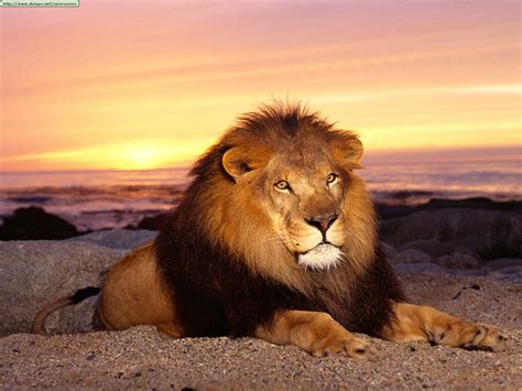 leones imagenes grandes grandes felinos taringa