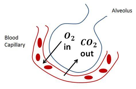 gas exchange across respiratory surfaces boundless biology gas exchange across respiratory surfaces boundless biology