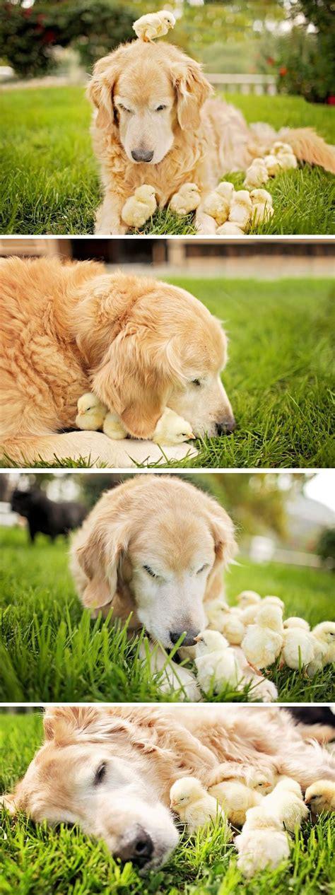 fluffy golden retriever golden retriever eat