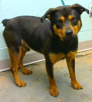 real rottweiler rescue phone number adopted frodo urgent located at dekalb county animal shelter in decatur