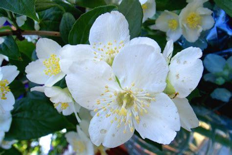fiori notturni il gelsomino notturno poesia di pascoli