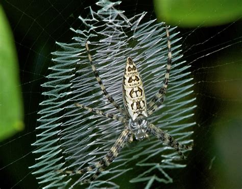 Garden Spider On Web 6 Things You Need To About Black And Yellow Garden Spider