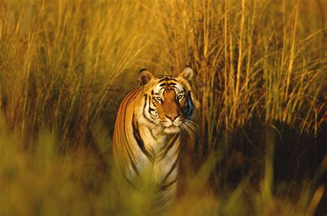 what are the different types of tigers living where do bengal tigers live