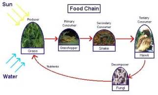 Describe the food chain in the diagram below