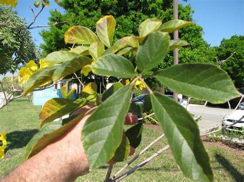yellow tabebuia tabebuia aurea article