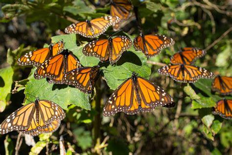 imagenes de varias mariposas aumenta la superficie ocupada por la mariposa monarca en