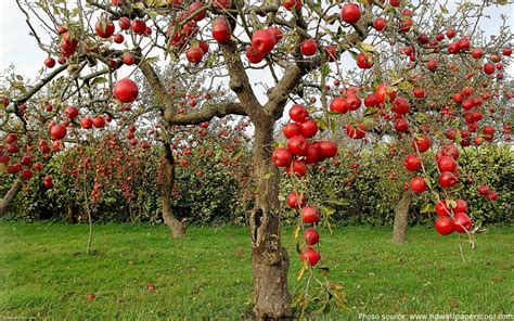interesting facts about apples just fun facts