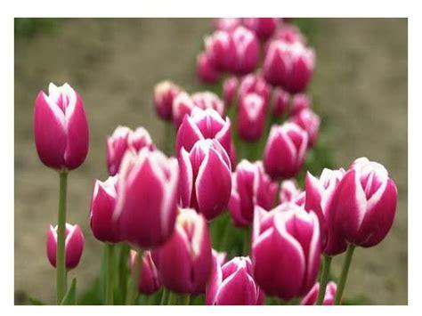 Benih Bunga Tulip Di Malaysia ct warna warni tulip di bukit larut