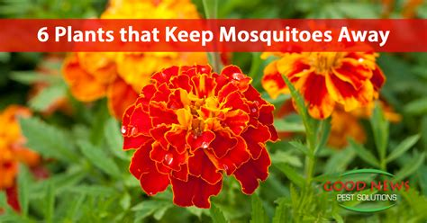 flowers that keep mosquitoes away 6 plants that keep mosquitoes away good news pest