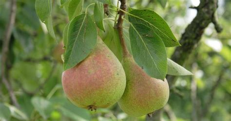 when do pear trees produce fruit pear allergy symptoms livestrong