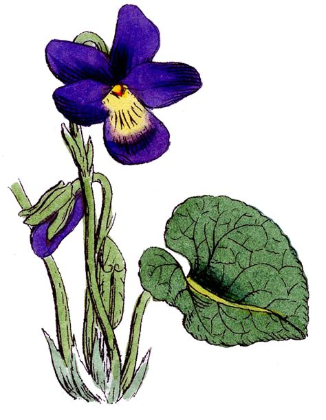 Fairy Garden Art - vintage floral images 3 lovely violets the graphics fairy