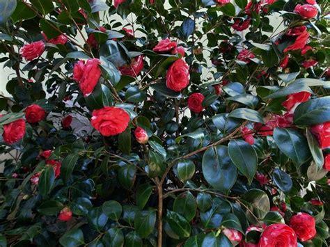 piante da giardino invernali piante invernali piante da giardino caratteristiche