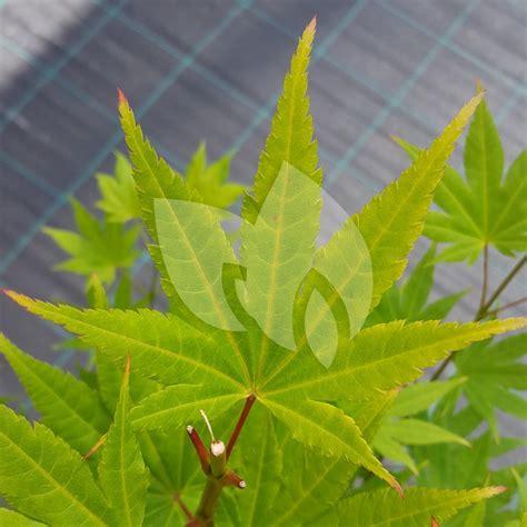 Joran 60cm 2 Plantenwinkel Nl Japanse Esdoorn Acer Shirasawanum