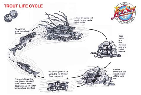 fish cycle diagram 7 best images about trout on trout a month