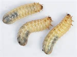 Garden Worms Types - african fruit beetle by the gardening blog