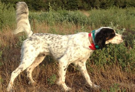 english setter started dogs for sale english setter dogs for sale outback kennels