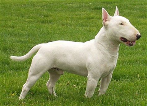 bull terrier puppies rescue bull terrier breeders breed clubs and rescue