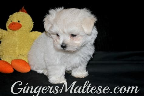 maltese in nc maltese puppies puppies for sale and puppys on pinterest