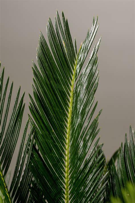 Cycas Revoluta Kaufen by Palmfarn Cycas Revoluta G 252 Nstig Kaufen