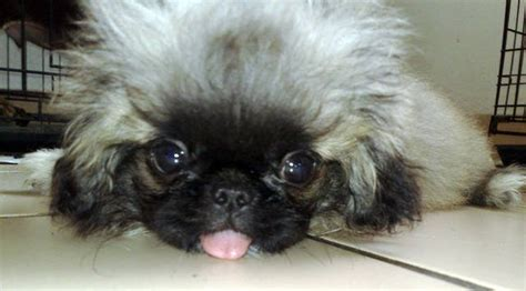 pekingese puppies for adoption sleeve pekingese puppy for sale adoption from selangor subang adpost classifieds