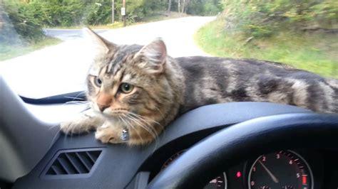 Kat Auto by Cat Enjoying A Car Ride Youtube