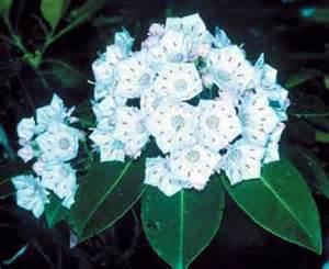 Chesapeake Flowers - chesapeake bay watershed natives mountain laurel kalmia