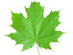 maple leaf pictures freaking news