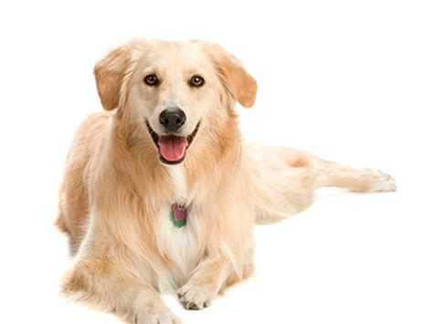 how to your golden retriever getting to your golden golden retriever manual
