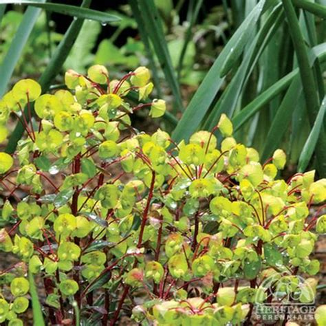 1056 best images about euphorbia on pinterest