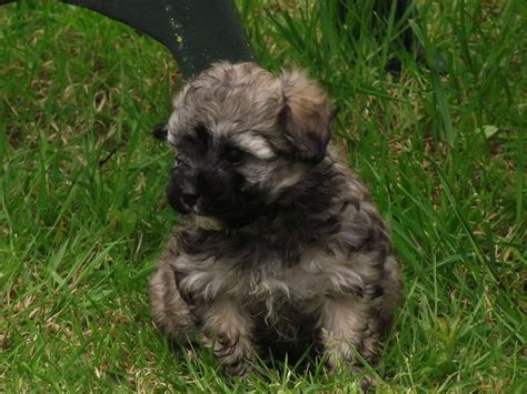 maltese poodle puppies for sale poodle x maltese puppies beautifully marked for sale in fernvale breeds picture