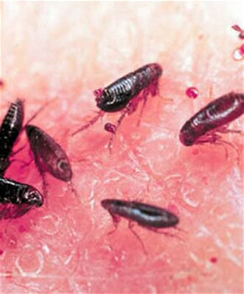 what color are fleas pest