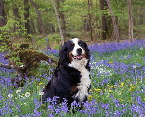 bernese mountain names bernese mountain all big breeds