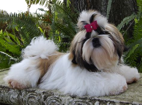 shih tzu obedience shih tzu breed info facts pictures pets world