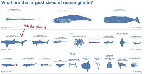 blue whale vs whale shark how da heck did a whale shark end up on the shores of melaka