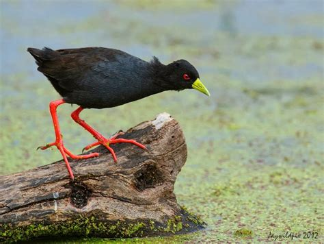 picture collection african black crake pics