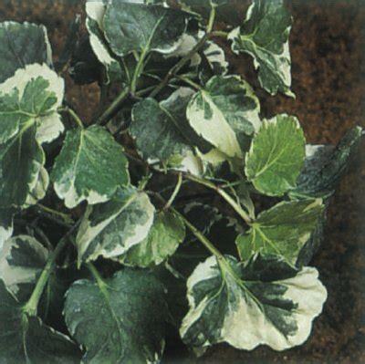 Easy Houseplants Aralia A Profile Of A House Plant Howstuffworks
