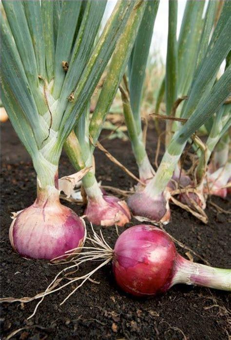 Bibit Daun Bawang Merah harga bawang meroket yuk tanam sendiri waras farm